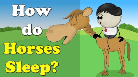 How do horses sleep?
