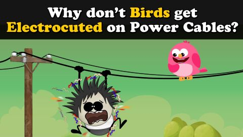 Why don't birds get electrocuted on power cables?