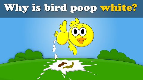 Why is bird poop white?