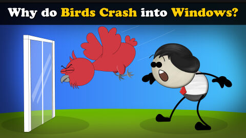 Why do birds crash into windows?